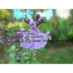 Salvia Test